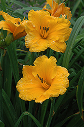 Chicago Sunrise Daylily (Hemerocallis 'Chicago Sunrise') at Cole's Florist & Garden Centre