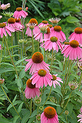 Kim's Knee High Coneflower (Echinacea 'Kim's Knee High') at Cole's Florist & Garden Centre