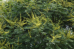 Golden Rain Tree (Koelreuteria paniculata) at Cole's Florist & Garden Centre