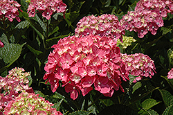 Forever Pink Hydrangea (Hydrangea macrophylla 'Forever Pink') at Cole's Florist & Garden Centre