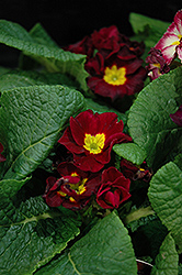 Supernova Red Primrose (Primula 'Supernova Red') at Cole's Florist & Garden Centre