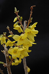 Show Off® Forsythia (Forsythia x intermedia 'Mindor') at Cole's Florist & Garden Centre