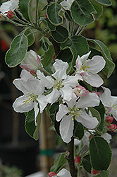 Granny Smith Apple (Malus 'Granny Smith') at Cole's Florist & Garden Centre