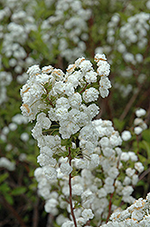 Bridalwreath Spirea (Spiraea prunifolia) at Cole's Florist & Garden Centre