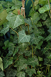 Thorndale Ivy (Hedera helix 'Thorndale') at Cole's Florist & Garden Centre