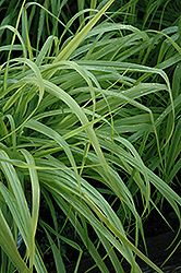 Dallas Blues Switch Grass (Panicum virgatum 'Dallas Blues') at Cole's Florist & Garden Centre