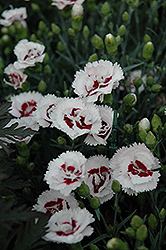 Scent First® Coconut Surprise Pinks (Dianthus 'WP05Yves') at Cole's Florist & Garden Centre