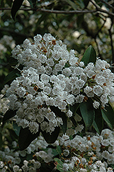 Mountain Laurel (Kalmia latifolia) at Cole's Florist & Garden Centre