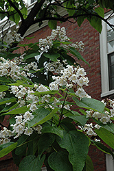 Northern Catalpa (Catalpa speciosa) at Cole's Florist & Garden Centre