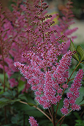 Maggie Daley Astilbe (Astilbe chinensis 'Maggie Daley') at Cole's Florist & Garden Centre