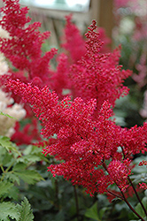 Montgomery Japanese Astilbe (Astilbe japonica 'Montgomery') at Cole's Florist & Garden Centre