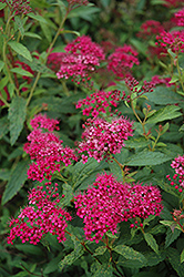 Neon Flash Spirea (Spiraea japonica 'Neon Flash') at Cole's Florist & Garden Centre