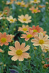 Sienna Sunset Tickseed (Coreopsis 'Sienna Sunset') at Cole's Florist & Garden Centre