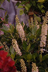Sixteen Candles Summersweet (Clethra alnifolia 'Sixteen Candles') at Cole's Florist & Garden Centre