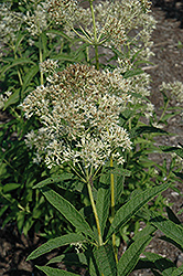 Ivory Tower Joe Pye Weed (Eupatorium fistulosum 'Ivory Tower') at Cole's Florist & Garden Centre
