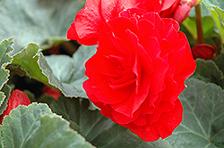 Nonstop® Deep Red Begonia (Begonia 'Nonstop Deep Red') at Cole's Florist & Garden Centre