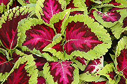 Kong Rose Coleus (Solenostemon scutellarioides 'Kong Rose') at Cole's Florist & Garden Centre