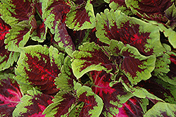 Kong Red Coleus (Solenostemon scutellarioides 'Kong Red') at Cole's Florist & Garden Centre