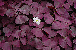 Charmed Wine Shamrock (Oxalis 'Charmed Wine') at Cole's Florist & Garden Centre