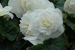 Nonstop® White Begonia (Begonia 'Nonstop White') at Cole's Florist & Garden Centre