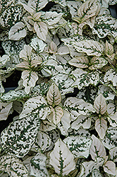 Splash Select White Polka Dot Plant (Hypoestes phyllostachya 'Splash Select White') at Cole's Florist & Garden Centre