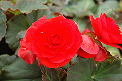 Solenia® Red Begonia (Begonia 'Solenia Red') at Cole's Florist & Garden Centre