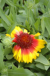 Mesa Bright Bicolor Blanket Flower (Gaillardia x grandiflora 'Mesa Bright Bicolor') at Cole's Florist & Garden Centre