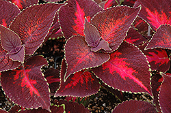 ColorBlaze® Kingswood Torch Coleus (Solenostemon scutellarioides 'Kingswood Torch') at Cole's Florist & Garden Centre