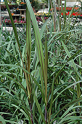 Princess Fountain Grass (Pennisetum purpureum 'Princess') at Cole's Florist & Garden Centre