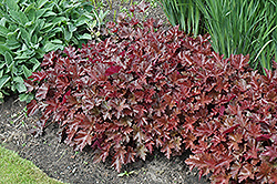 Chocolate Ruffles Coral Bells (Heuchera 'Chocolate Ruffles') at Cole's Florist & Garden Centre