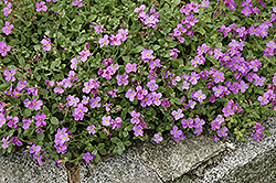 Purple Rock Cress (Aubrieta deltoidea) at Cole's Florist & Garden Centre