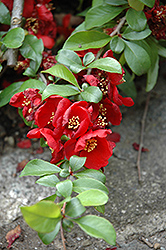 Crimson and Gold Flowering Quince (Chaenomeles x superba 'Crimson and Gold') at Cole's Florist & Garden Centre