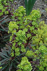 Purple Wood Spurge (Euphorbia amygdaloides 'Purpurea') at Cole's Florist & Garden Centre