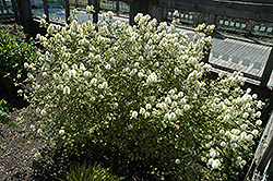 Mt. Airy Fothergilla (Fothergilla major 'Mt. Airy') at Cole's Florist & Garden Centre