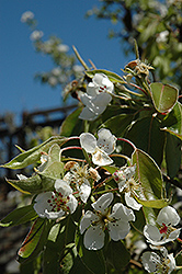 Clapp's Favorite Pear (Pyrus communis 'Clapp's Favorite') at Cole's Florist & Garden Centre