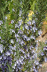 Rosemary (Rosmarinus officinalis) at Cole's Florist & Garden Centre