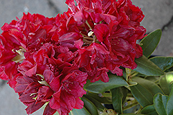 Double Besse Rhododendron (Rhododendron 'Double Besse') at Cole's Florist & Garden Centre