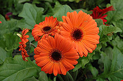 Orange Gerbera Daisy (Gerbera 'Orange') at Cole's Florist & Garden Centre