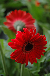 Red Gerbera Daisy (Gerbera 'Red') at Cole's Florist & Garden Centre