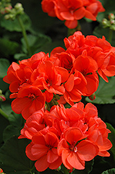 Patriot Orange Geranium (Pelargonium 'Patriot Orange') at Cole's Florist & Garden Centre