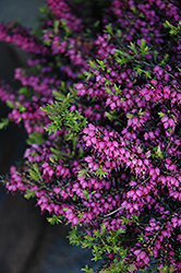 Kramer's Rote Heath (Erica carnea 'Kramer's Red') at Cole's Florist & Garden Centre