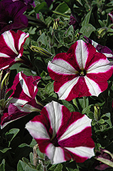Easy Wave® Burgundy Star Petunia (Petunia 'Easy Wave Burgundy Star') at Cole's Florist & Garden Centre
