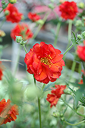 Blazing Sunset Avens (Geum 'Blazing Sunset') at Cole's Florist & Garden Centre