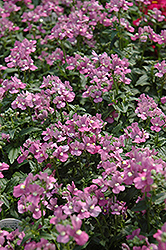 Compact Pink Innocence Nemesia (Nemesia 'Compact Pink Innocence') at Cole's Florist & Garden Centre