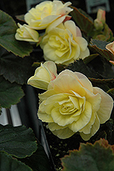Solenia® Light Yellow Begonia (Begonia 'Solenia Light Yellow') at Cole's Florist & Garden Centre