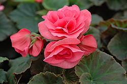 Solenia® Light Pink Begonia (Begonia 'Solenia Light Pink') at Cole's Florist & Garden Centre