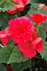 Nonstop® Rose Pink Begonia (Begonia 'Nonstop Rose Pink') at Cole's Florist & Garden Centre