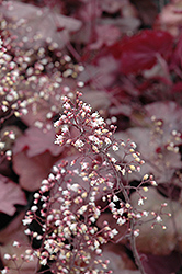 Beaujolais Coral Bells (Heuchera 'Beaujolais') at Cole's Florist & Garden Centre