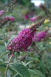 Miss Ruby Butterfly Bush (Buddleia davidii 'Miss Ruby') at Cole's Florist & Garden Centre