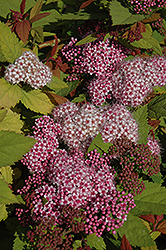 Double Play Big Bang® Spirea (Spiraea 'Tracy') at Cole's Florist & Garden Centre